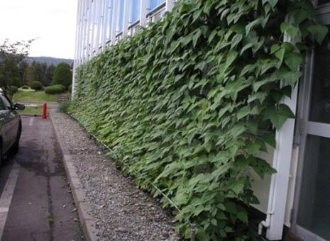 Green Curtains make passive energy efficiency popular in Japan