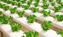 Geothermal energy - Indoor farm - greenhouse - lettuce