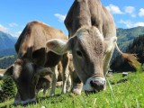 livestock methane emissions - cows grazing in field