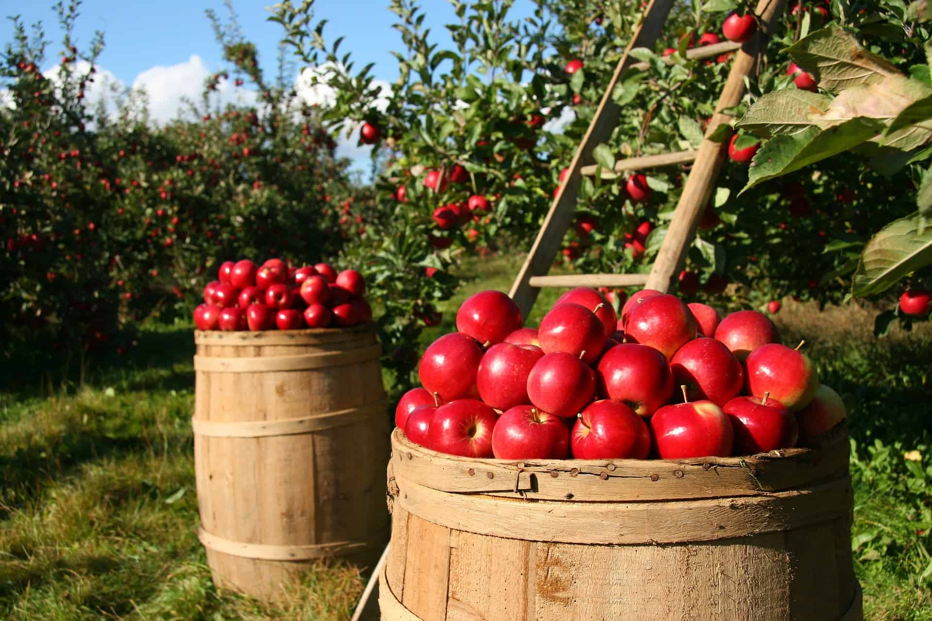 Fruit in orchards