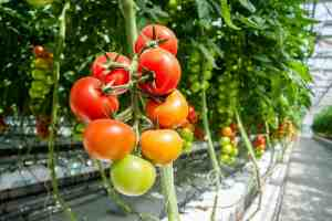Hydro Grown tomatoes