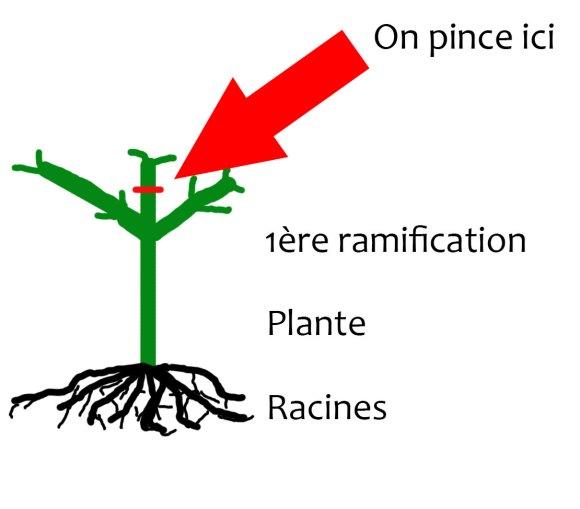 pincer-plante