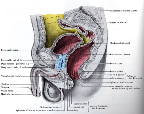 small resolution of prostate jpg