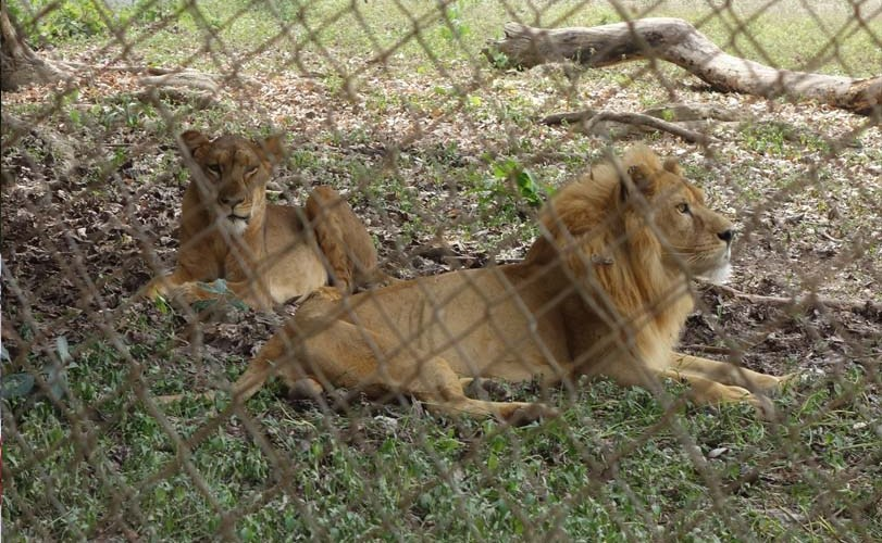 Ibadan zoo closed after lion mauls attendant to death