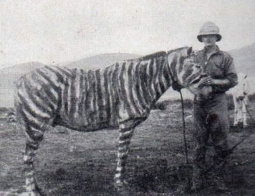 A supply mule of the Somalialand Scouts 'camouflaged' as a Zebra. (IWM)