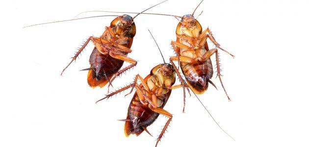 تفسير حلم الصراصير الكبيرة للنابلسي وابن سيرين