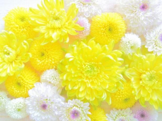 菊の花言葉