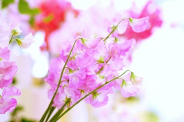ピンク色のスイートピー