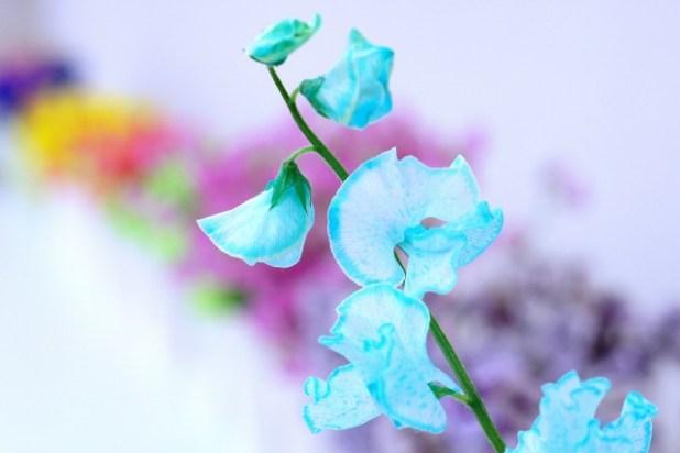 青いスイートピー