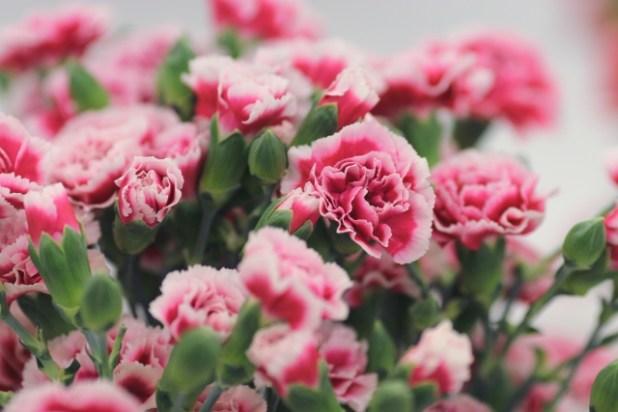 たくさん咲いたカーネーションの鉢植え