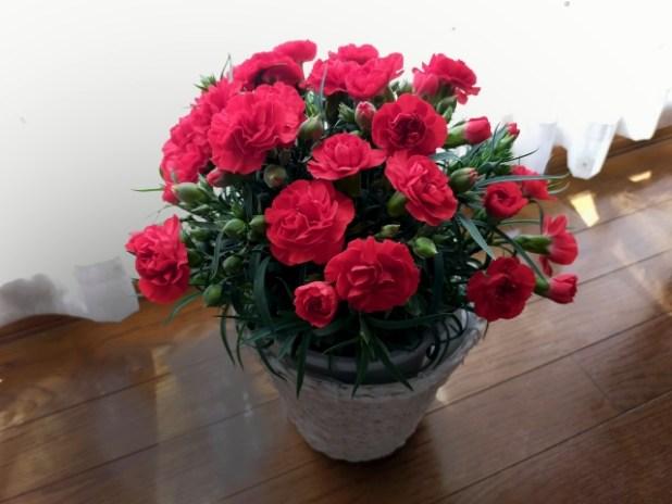 赤色カーネーションの鉢植え