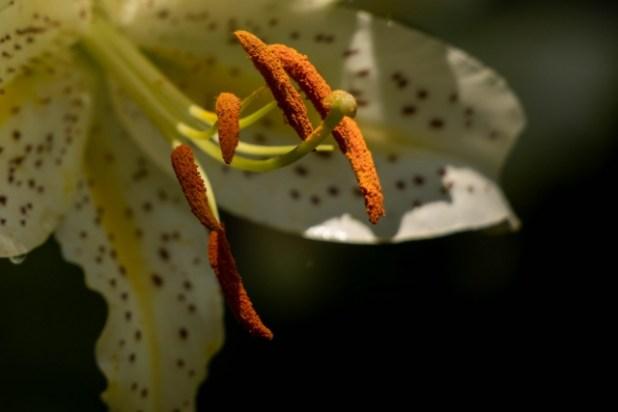 花粉が付いてるユリ