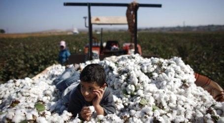 السلطة السورية تصدر قراراً يشلّ زراعة القطن المحلي