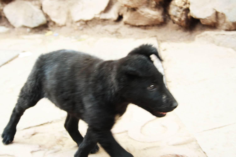 black street puppy dog