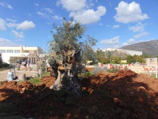 Thousands years old Olive Tree in process to be transplanted in the Olive Theme Park [courtesy Astros-Kynourias-News]