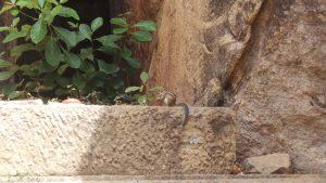 Sri Lankaans eekhoorntje