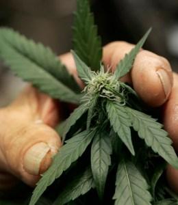 Marijuana Misgivings