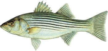 Captain John Rade catches a Sea Bass