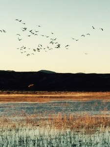 After they have eaten, fly-in of sandhill cranes at dusk…..a memorable sight (click to enlarge, then back-arrow to return to blog).