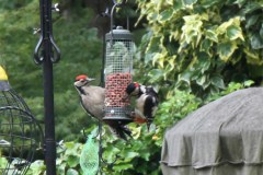 A pair of Greater Spotted Woodpeckers, early morning in Crowthorne