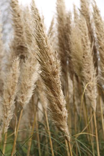 Savill-Gardens-grasses