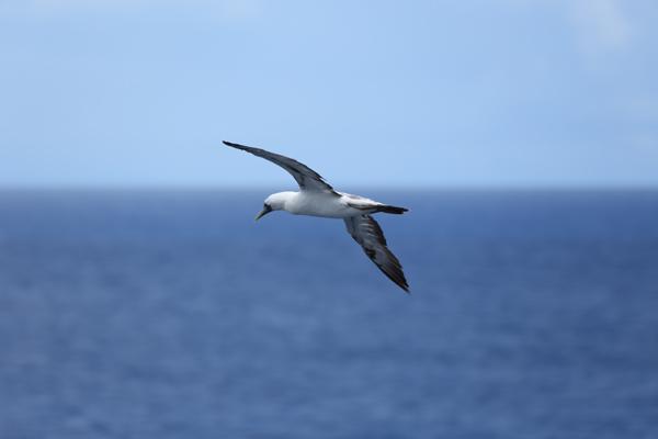 At-sea-to-Grenada-mar16-seabird-1