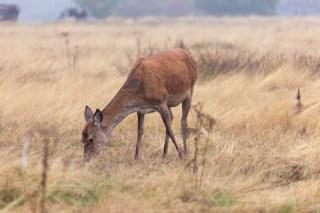 Richmond Park hind