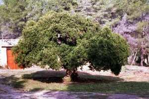 Lentiscus the Millenary Tree
