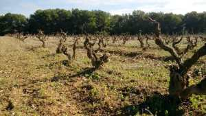 Old Sumoll vineyard 1939