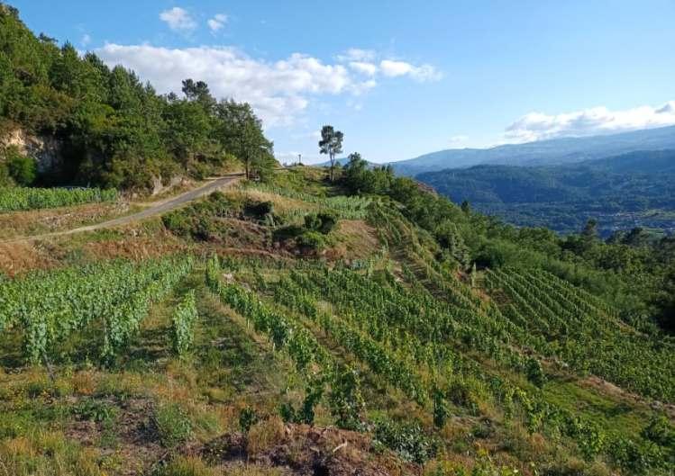 Antonio Miguel Boas Vides vineyard Ribeiro