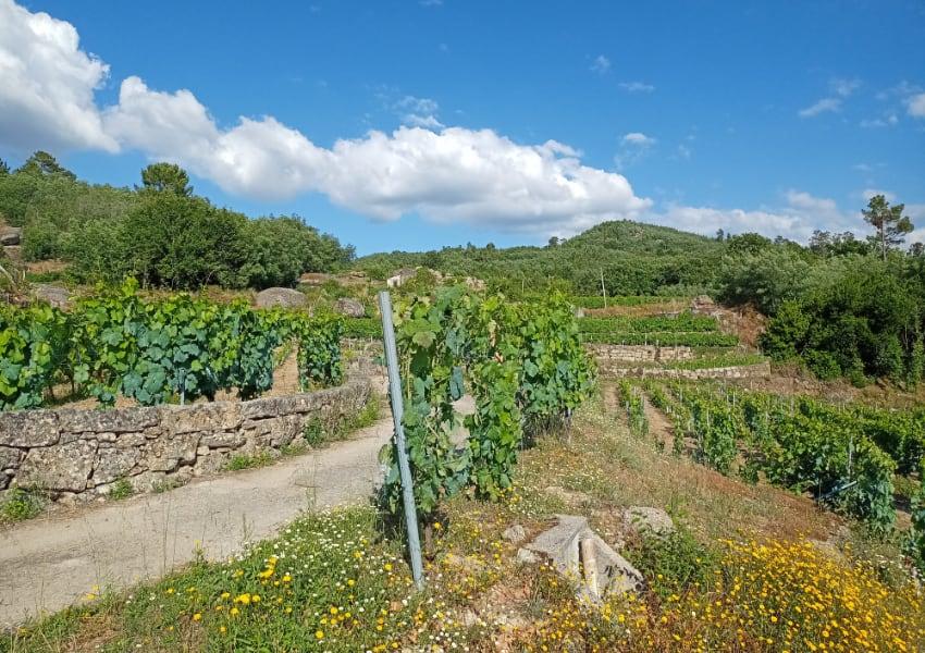 Antonio Miguel Boas Vides vineyard