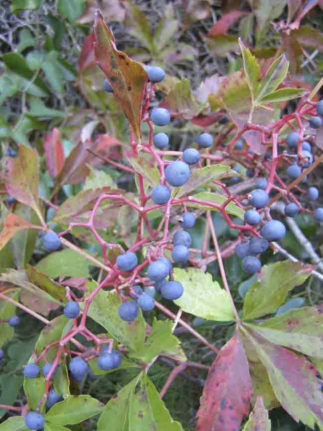 mighty fine native vine