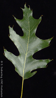 Plant Information Center Quercus Velutina