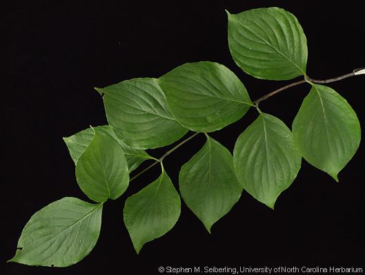 Long Leaf Bush