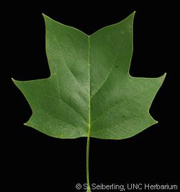 Common Trees of the North Carolina Piedmont  Liriodendron