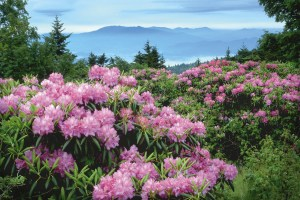The largest natural red rhododendron garden in the world on top of Roan Mountain, where the North Carolina-Tennessee state line runs along the crest of the ridge. © 2003 Hugh Morton.
