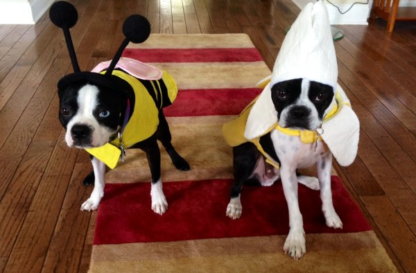 Our 2013 Boston Terrier Halloween Costume Contest Starts