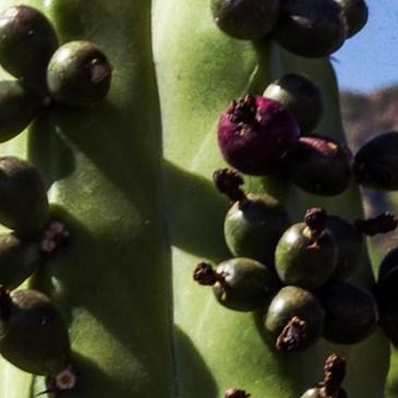 El Licor de Garambullo de Zapotitlán