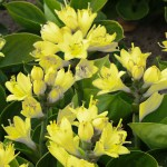 Bakker Spalding launches first hosta to flower yellow