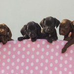Litter Of Chocolate Pups Melt Hearts At Local Charity
