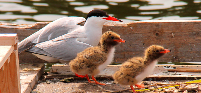 Fairhaven Garden – Common Tern Breeding Platform Success