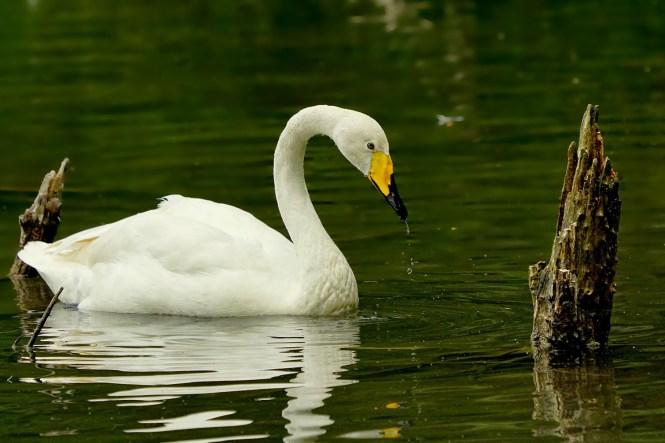 swans awake