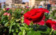 Exporose Que faire en provence alpes cote d'azur Grassse aux roses blog voyage