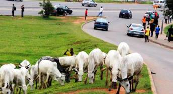 FCT Minister Bans Cattle Grazing In Abuja