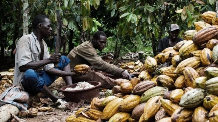 Future of Nigerian cocoa production lies in Niger Delta – Report