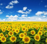 Field Of Yellow Sunflowers Blue Sky Floral Wall Mural ...