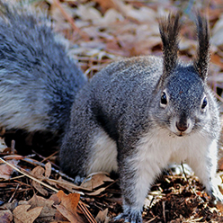 Grand Canyon Neighbors: Pines, Truffles, and Squirrels