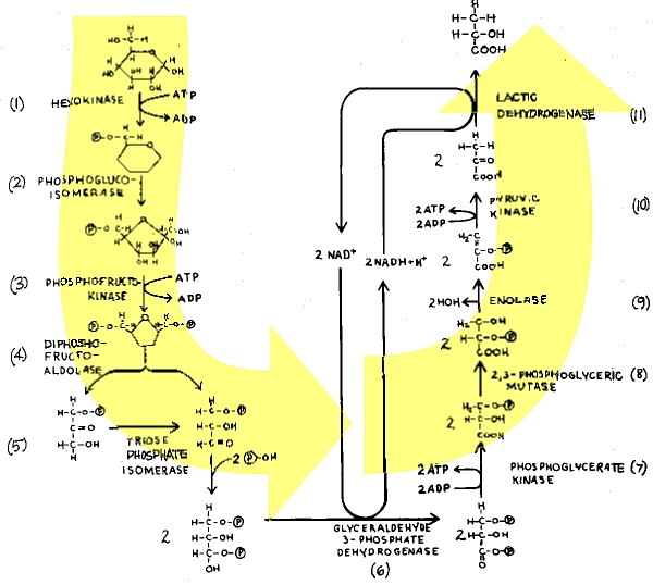 stages of glycolysis and fermentation diagram 3 way switch wiring 2 lights alcoholic the institute for creation figure