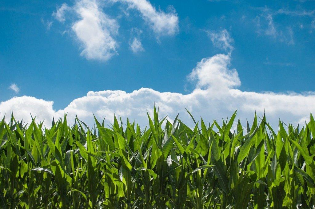 corn field, farm, clouds