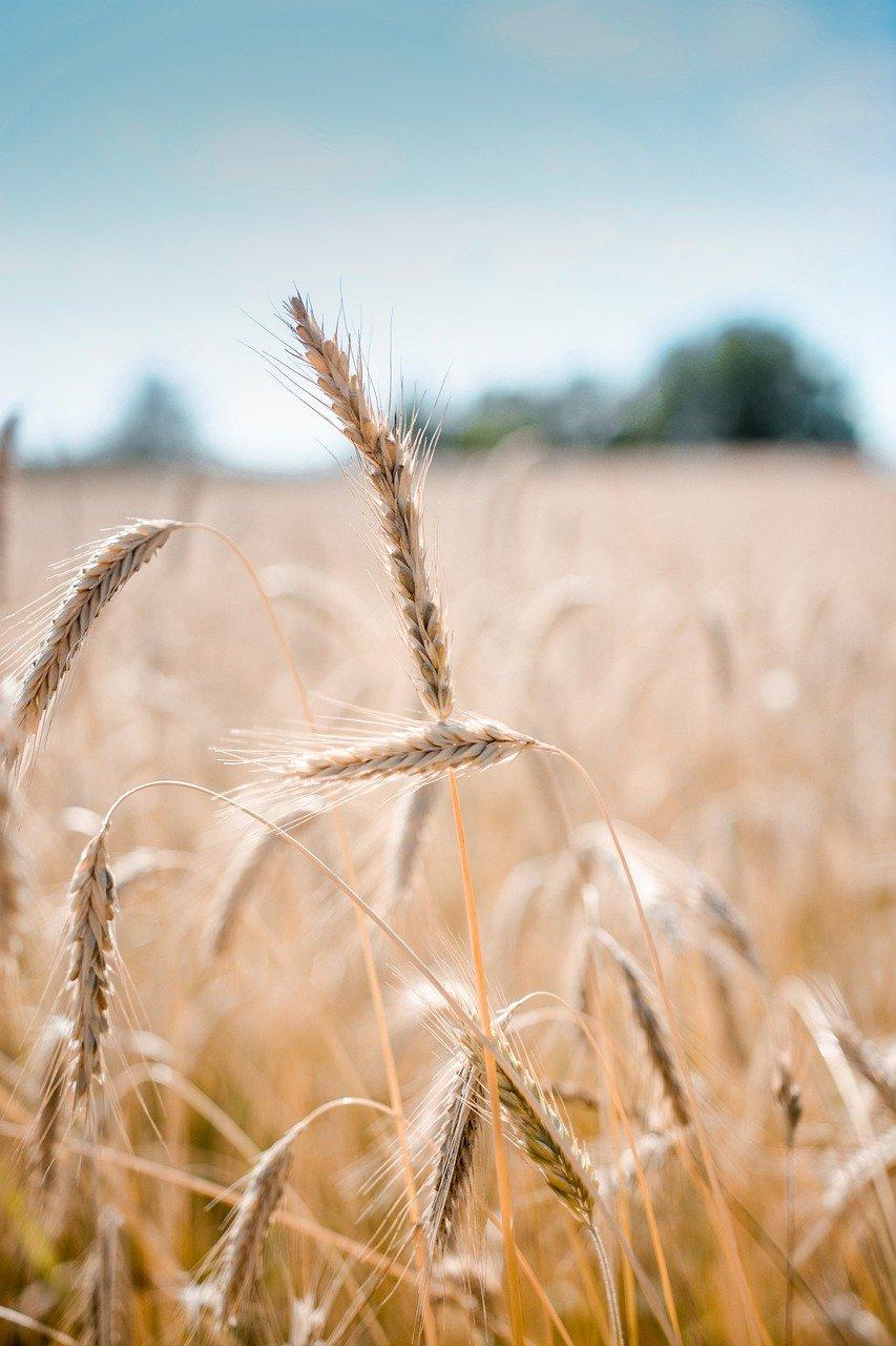 wheat, crop, field